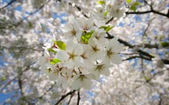 White Cherry Blossoms. TheSeasonalSoul.com