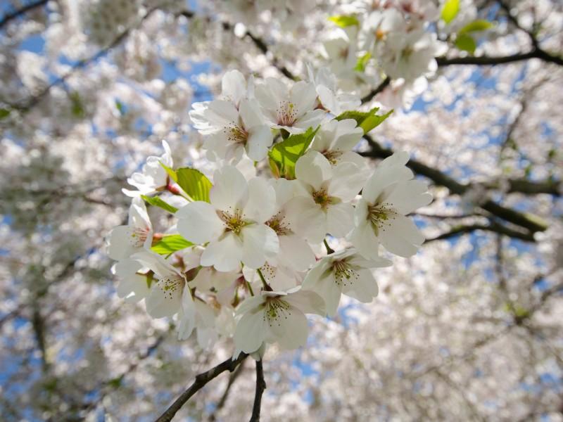 White Cherry Blossoms. TheSeasonalSoul.com