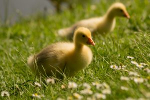 Ducklings in Springtime. http://www.TheSeasonalSoul.com